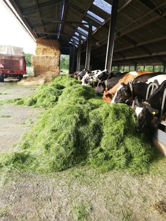 koeien-oud-schoonhorst