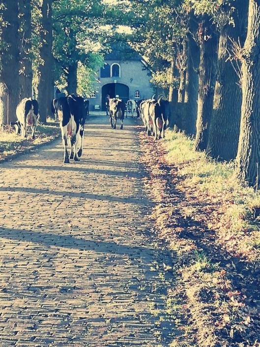 koeien-zorgboerderij-barneveld
