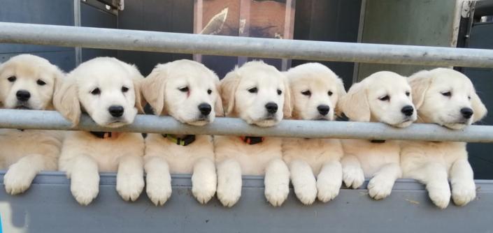 puppies-barneveld