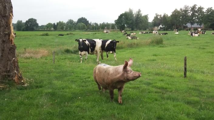 varkens-schoonhorst